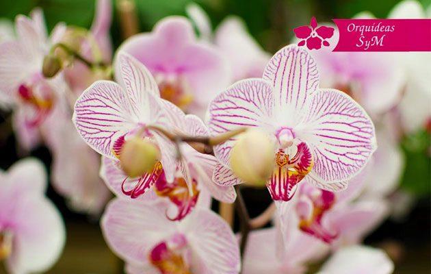 Orquídeas SyM Tikal Futura - foto 7
