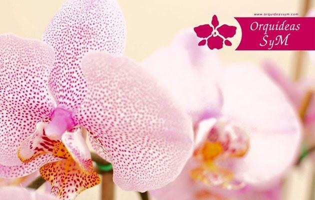 Orquídeas SyM Tikal Futura - foto 6