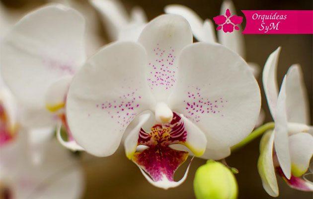 Orquídeas SyM Tikal Futura - foto 4
