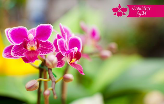 Orquídeas SyM Tikal Futura - foto 1